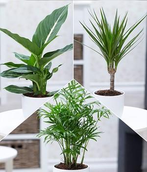Zimmerpflanzen zur Luftreinigung